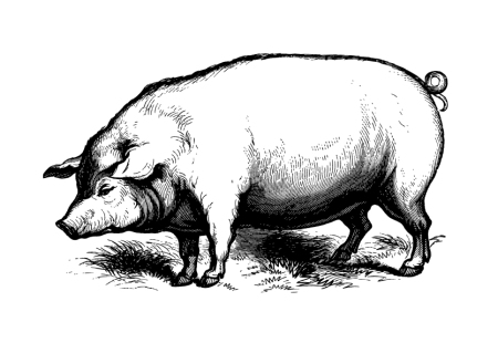 pig-illustration